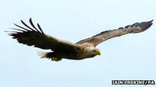 Sea eagle. Pic: Iain Erskine/RSPB Scotland