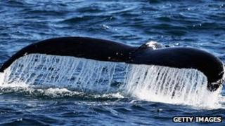 The fluke of a humpback whale emerges from the water; There has been a ban on commercial whaling for 25 years, but Japan catches about 1,000 whales each year in what it says is a scientific research programme