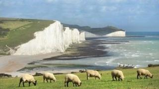 Sheep grazing in front of the Seven Sisters cliffs in Sussex