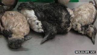 Dead auks (pic: Wildlife VIC)