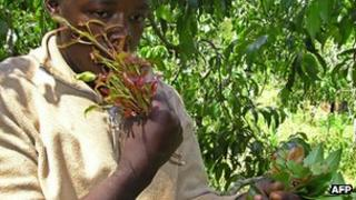 Some chewing khat in Kenya