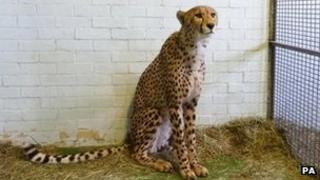 Issac, the cheetah found at Heathrow Airport
