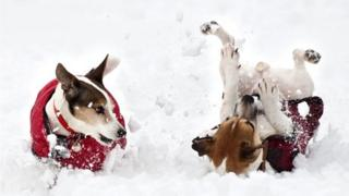 Dogs rolling in snow