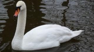Swan at Pells Pond, Lewes