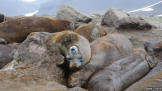 Tagged elephant seal