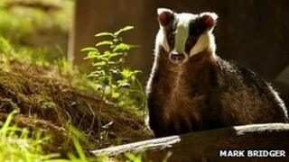 Badger (photo by Mark Bridger from BBC Autumnwatch Flickr group)