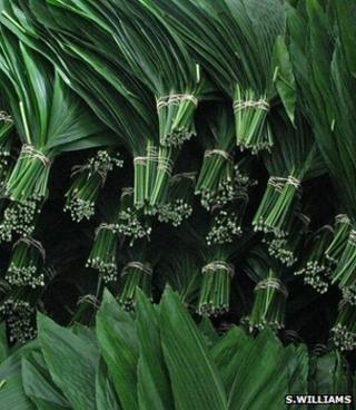 Cut xate leaves (Image: Sophie Williams)