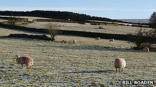 Sheep and walls above Hurstwood