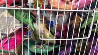 Birds for sale in Tripoli market