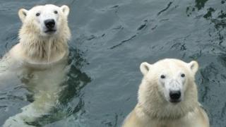 Polar bears Arktos, left, and brother Nanuq