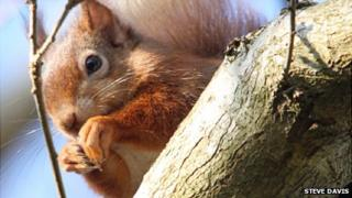 red squirrel by Steve Davis
