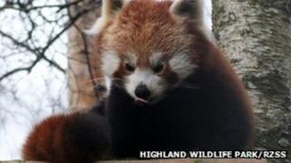 Red panda Jodie