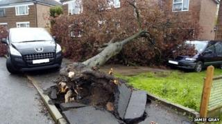 Tree uprooted in Rugby