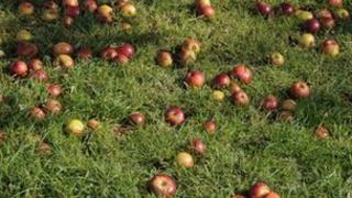 Apples - generic