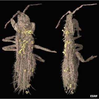 Thrips imaged at ESRF