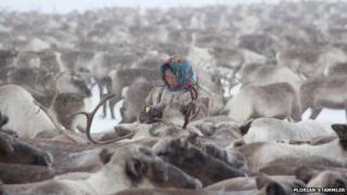 A Nenet woman among a herd of reindeer