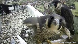 Peregrine chicks on edge of Norwich Cathedral platform