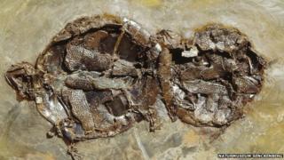 Fossilised turtles (Naturmuseum Senckenberg)