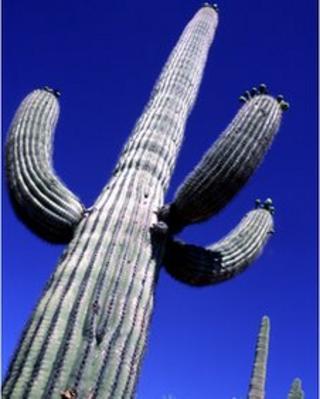 Saguaro cacti in the Arizona desert, between Phoenix and Tucson, western America, 2001