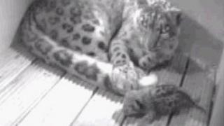 New snow leopard cub born at Banham Zoo, Norfolk