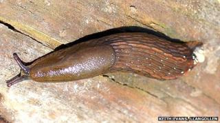 Spanish stealth slug