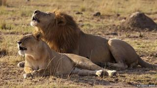 Lion and lioness