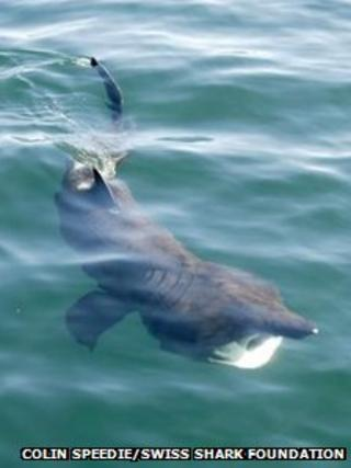 Basking shark. Pic: Colin Speedie/Swiss Shark Foundation