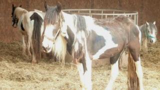 Herefordshire horses