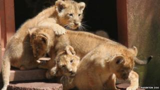 Paignton Zoo's four rare Asiatic lion cubs, born in May 2012