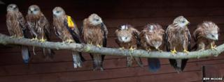 Red Kites from Tiggywinkles Hospital