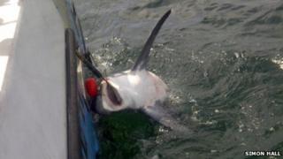 Thresher shark caught off Looe