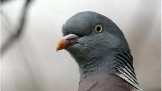 Pigeon, file image