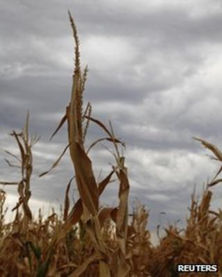 A damaged corn crop in Harvey County, central Kansas
