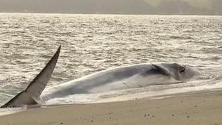 Fin whale at Carlyon Bay