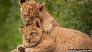 Lion cubs Jessica and Victoria