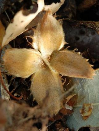 Beech nut case on woodland floor (Image: BBC)
