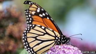 Monarch butterfly spotted in Easton, Portland island
