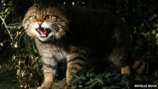 Scottish wildcat