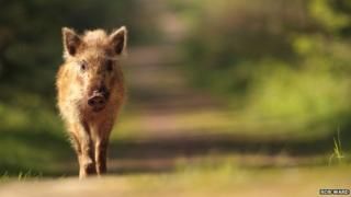 A wild boar in the Forest of Dean