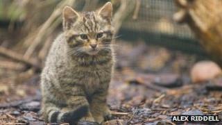 Scottish wildcat kitten