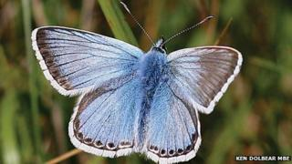 Chalkhill blue butterfly on Portland