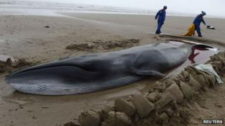Sei whale in Northumberland