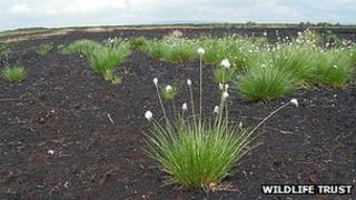 Cotton grass on Little Woolden Moss