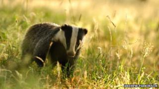 Badger in the fields
