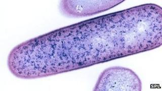 C. difficile bacteria