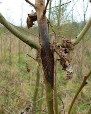 Symptoms of ash dieback at Hullback's Grove, Arger Fen, Suffolk