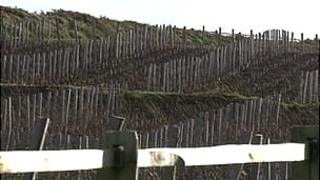 Vines planted in a field in Sark