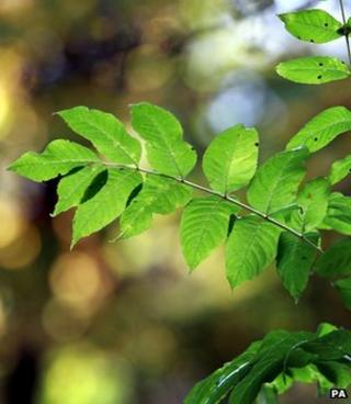 Ash leaf (Image: PA)