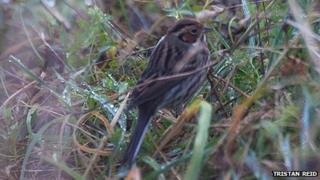 Little Bunting in Elba Park, Sunderland. Photo: Tristan Reid