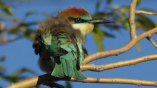 Bee-eater in Sunderland